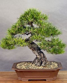 Japanese Black Pine - White Bear Bonsai. It never ceases to amaze me how the JBP in this very style and shape seems perfect, no matter the owner, the tree or the age. I pray mine will,look this good when I am older and wiser.