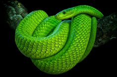 The Green Mamba is one of the most deadly snakes.