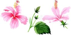 Wildflower hibiscus pink flower in a watercolor style isolated.. Illustration about etching, drawn, hibiscus, background, silhouette, fashion, flora, illustration, 1914 - 111461923 Watercolor Flowers, Hibiscus, Pink Flowers, Flora, Silhouette, Draw, Illustration, Plants, Style