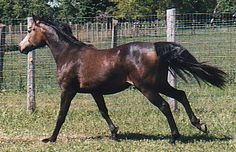 1999 Wintermist Sweet Shannon, Connemara Pony Mare Owned by Leslie van der Wal. Suspected to have  reticulated spotting.