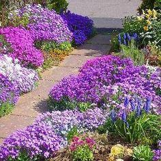 Rockcress Cascading Mix Flower Seeds (Aubrieta Hybrida) 50+Seeds - Under The Sun Seeds  - 1
