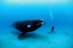 Il est rare de voir une baleine et un homme face à face et de se rendre compte de l'insignifiance de l'un par rapport à l'ampleur de l'autre –ici les 70tonnes d'une baleine franche australe, longue de 14 mètres. Pour montrer la masse de l'animal, le photographe a demandé à son compagnon de plongée de descendre jusqu'au fond sableux, à 22 mètres dans l'eau claire au large des îles Auckland, espérant que le petit homme attirerait vite une baleine curieuse. C'est dans ces eaux ...