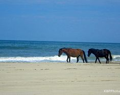 Wild Horse photography, Outer banks photography, beach photography, ocean, animal photography, wild horses, Corolla, Outer Banks artwork
