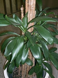 File:Cordyline stricta Grocal1.jpg - Wikimedia Commons