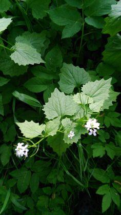 Bylinky jedlé   Bylinky pro radost Korn, Parsley, Herbs, Fitness, Herb, Medicinal Plants