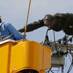 Un chimpanzé rejoue King Kong au Japon