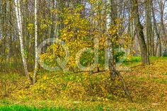 Qdiz Stock Photos | Autumn Colorful Tree Against Trees with Bare Branches,  #autumn #background #bare #beautiful #beauty #blue #branch #colorful #day #environment #fallen #foliage #golden #grass #green #idyllic #land #landscape #leaf #leaves #multicolored #nature #nobody #outdoors #park #plant #scenery #scenic #season #tranquil #tree #view #weather #wood #yellow