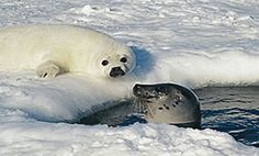 the harp seal essay The harp seal kiss is the mother's quick sniff-test to see if the pup a lovely essay from mandy aftel of aftelier nosy girl: nosy interview: rebecca.