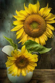 Sunflower Series II Canvas Print / Canvas Art by Kathy Jennings