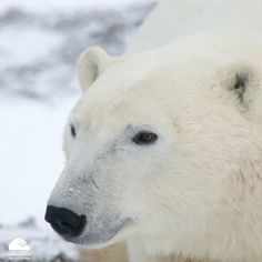 """2,120 Likes, 8 Comments - Polar Bears International (@polarbearsinternational) on Instagram: """"To celebrate the bears on International #PolarBearDay, we're broadcasting live on Facebook with an…"""""""