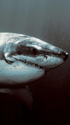 Types of Sharks: a Mammal or Fish? All Sharks, Types Of Sharks, Megalodon, Orcas, Hai Tattoo, Tattoos, King Shark, Shark Bait, Shark Fish