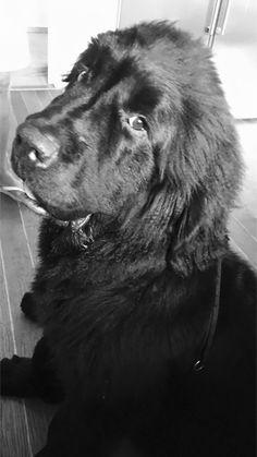 Baldur 6 months 6 Months, Labrador Retriever, Dogs, Animals, Labrador Retrievers, 6 Mo, Animales, Animaux, Pet Dogs