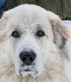 great pyrenees | Great Pyrenees Breed | Cute Pictures | Animal Photos