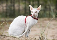 "Cornish Rex Cats - The ""Greyhound"" of Cats"