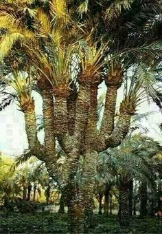 "A Palm Tree In The Desert of Najaf "" Iraq"""