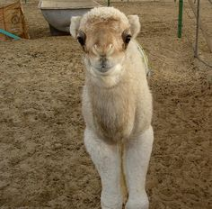 aweeee so cute! baby camel