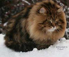 Siberian Black tabby color