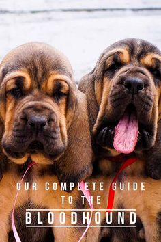 Our complete guide to the Bloodhound - Dog breed review.