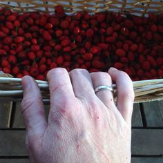 Painful but worth harvesting rosehip