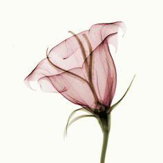 flower_x_ray_by_coopr-d3fb53n.jpg (1000×1000)