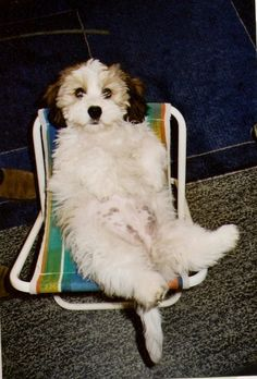 My dog looks just like this including the spots on the tummy. #Havanese