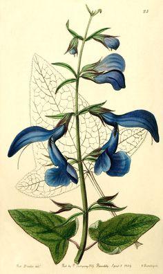 Salvia patens: Bot. Reg. 1839, 23
