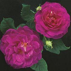 Outta the Blue Shrub Rose - Shrub Roses - Roses