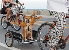 A canine participant rides in the Zombie Bike Ride Sunday, Oct. 21, 2012, in Key West