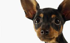 animals photography - miniature pinscher