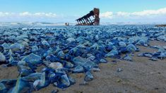 """Billions of small, blue jellyfish-like creatures called """"by-the-wind sailors"""" have washed ashore on the West Coast. Images credit NOAA These creatures… Oregon Beaches, Oregon Coast, Jellyfish Pictures, Blue Jellyfish, Animal Science, Types Of Photography, California Beach, Natural Phenomena, Beach Pictures"""