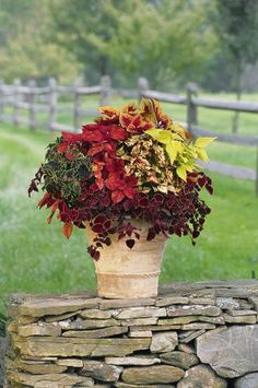 I love coleus! I use it every year... Coleus is a great container plant for shady areas. Coleus are disease resistant and low maintenance and come in a staggering number of varieties. Coleus is a perfect plant for beginners because it is super easy to take care of and is very forgiving. This gorgeous container garden is from a White Flower Farm kit.