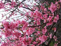 Cherry blossom. Okinawa, Japan