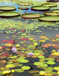 assorted lily pads