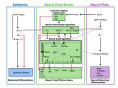 neural crest development - Google Search