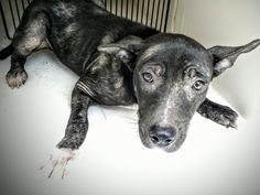 This DOG - ID#A463955 - located at Harris County Animal Shelter in Houston, Texas - 8 MONTH OLD Male Labrador Retriever/Pit Bull Terrier mix - at the shelter since Jul 15, 2016.