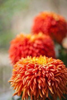 Isabella Stewart Gardner Museum : Chrysanthemums