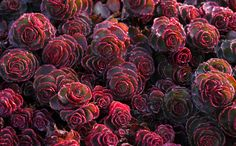 Dragon's Blood Sedum - This plant is a succulent, only 3 or 4 in tall, that forms a dense mat. In summer, it's covered with star-shaped crimson flowers. In autumn, the deep green foliage takes on a maroonish cast.