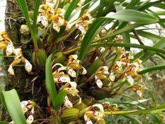 Maxillaria Rupestris, native to Brazil