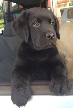 Finn ~ Labrador Retriever Pup ~ Classic Look