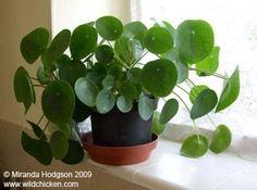 Gezocht Pannekoekenplant of Pilea peperomioides