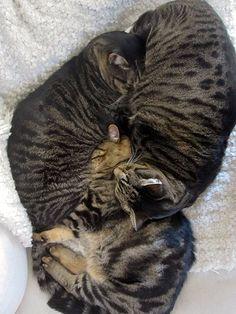 Three cat pile up. Cult of Otis. Baby Cats, Cats And Kittens, Three Cats, Trying To Sleep, Sleep Apnea, Love Bugs, Curling, Crowd, Wordpress
