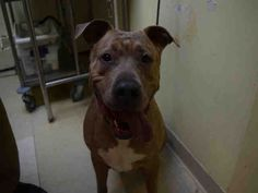 10/10/16 CAESAR IS VERY SICK FROM PNEUMONIA!! PLEASE SHARE THE PETITION SO HIS FAMILY CAN GET HIM BACK BEFORE HE DIES!! SUPER URGENT Staten Island CAESAR – A0885726 (ALT ID – A1073984) DOH HOLD 05/18/16 NEUTERED MALE, BUFF / WHITE, PIT BULL MIX, 7 yrs STRAY – ONHOLDHERE, HOLD FOR DOH-B Reason BITEPEOPLE Intake condition EXAM REQ Intake Date 05/17/2016, From NY 10306, DueOut Date05/20/2016, https://www.change.org/p/free-caesar-so-he-can-go-home