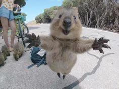 Mini-Känguru wird Internet-Hit
