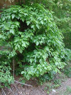 large poison ivy hedge