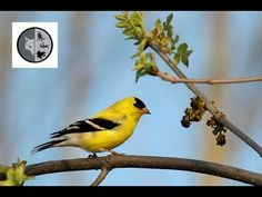 American Goldfinch nesting - Week no.3 -Test your knowledge with the question of the week each Friday. The answer will be released next Friday. Subscribe :  https://www.youtube.com/user/Explorationnature Facebook :  https://www.facebook.com/pages/Dominique-Lalonde-Cinéaste-naturaliste-Wildlife-Filmmaker/175942475833403?sk=wall Twitter : https://twitter.com/explonature Web : http://www.dominiquelalonde.com/ Blog : http://dominiquelalondecom.blogspot.ca