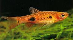 rasbora fish - Google Search