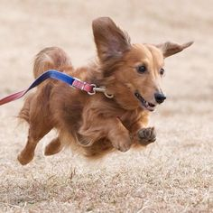 flying doxie #dachshund #cute tumblr_mg75lrAoCa1qa3i6uo1_500.jpg (500×500)