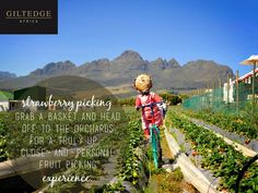 Cape Winelands   Strawberry Farms