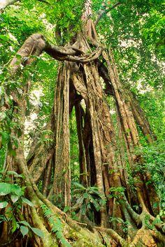 Giant strangler fig, Ficus aurea, Mount Kinabalu National Park, Sabah, Borneo