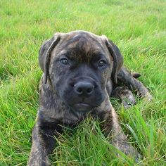 'Bullmastiff brindle puppy laying in grass' by marasdaughter Brindle Mastiff, Bull Mastiff Puppies, Friend Pictures, Dog Pictures, Doggies, Dogs And Puppies, Cute Little Puppies, Lucy Liu, Dog Lady